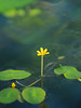 Photo:Yellow cabomba (Cabomba aquatica, yellow water lily, イエローカボバ) By Greg Peterson in Japan