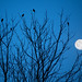 Red-winged blackbirds gather as night settles in