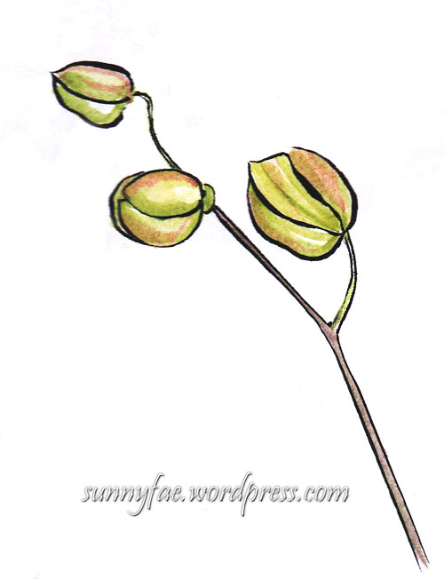sketch of white orchid flower buds
