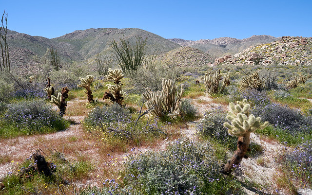 Phacelia and desert dandelion and cholla in Rockhouse Canyon