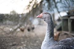 Goose - Analog
