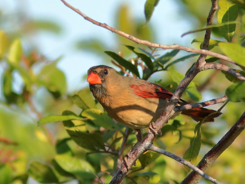 Northern Cardinal female 03-20190326