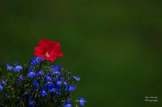 Blooms Bursting in Air