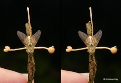 Fly with Entomopathogenic fungus, Ophiocordyceps dipterigena