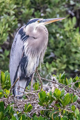Great Blue Heron  with a Pair of Chicks