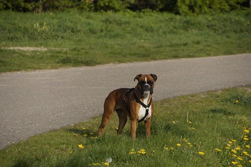 Boxer Lotje bij de Betuweroute in Angeren 11-04-2019