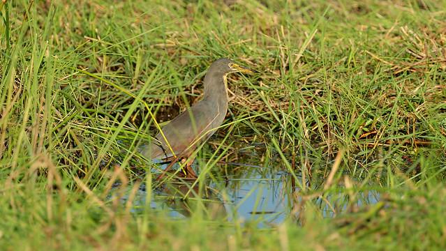 Rufous-bellied Heron (5361)