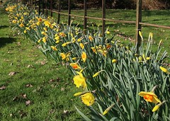 Early Daffodils at Snowdrop Sundays at Hedingham Castle, Essex, UK