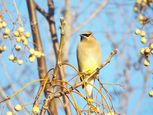 Cedar Waxwing, Crowley Park, Richardson, Texas | by gurdonark
