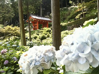 Bloeiende hortensia's in Uji