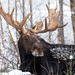 Bull Moose in the snow by NicoleW0000