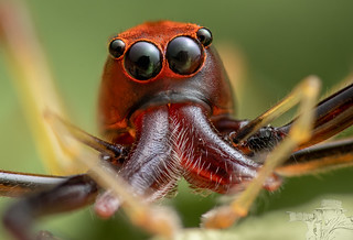 Wide-jawed Viciria Spider Portrait