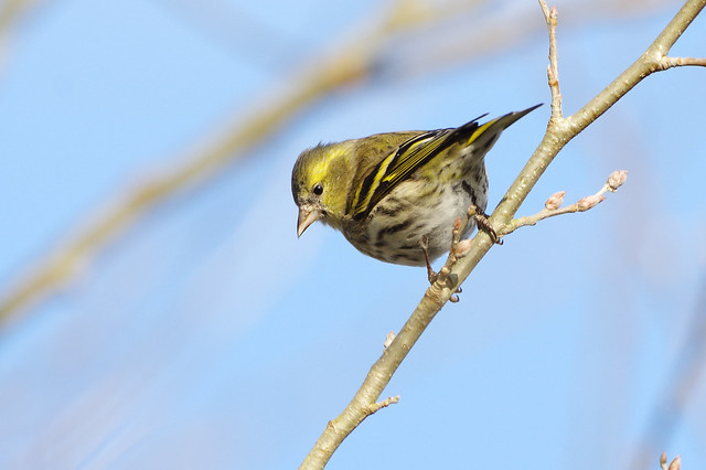 K32P9108c Siskin, Lackford Lakes, January 2019