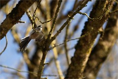 Mésange à longue queue - Aegithalos caudatus - Long-tailed Tit - Photo of Pondaurat