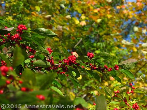 Berries at Willowwood