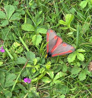 Cinabar - Day flying Moth