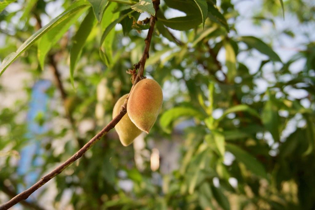 Season of peaches