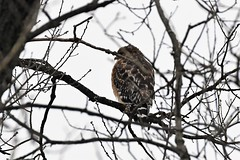 Neighborhood red-shouldered hawk