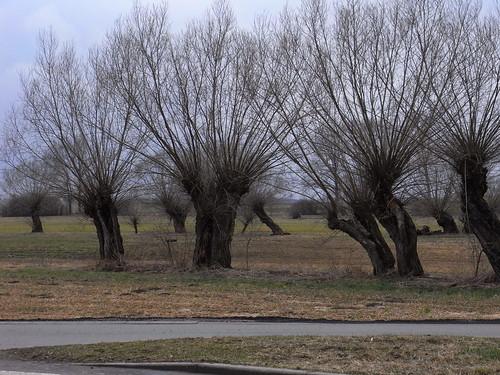 20110318 0205 248 Jakobus Weidenbäume