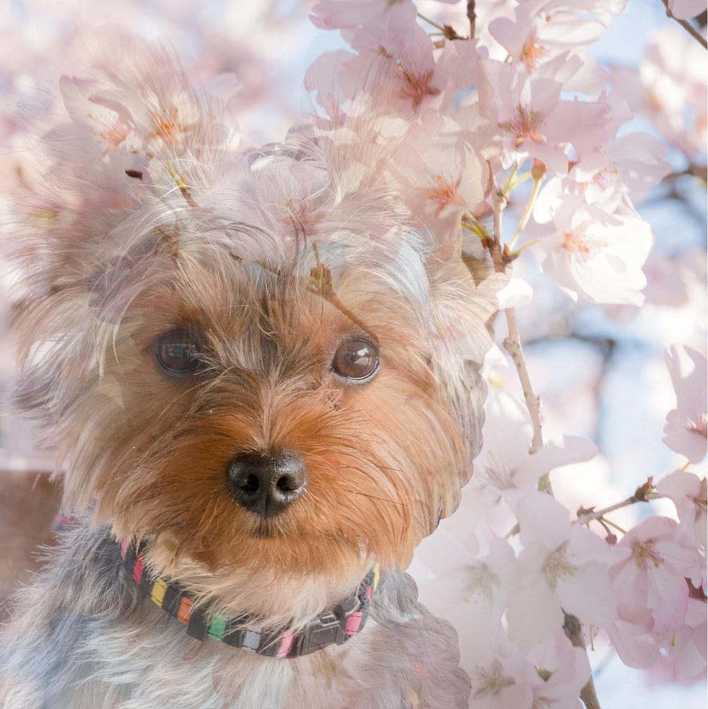 ヨーキー&桜