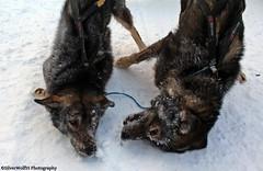 Huskies Being Huskies-Team Redington W 025