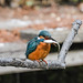 Kingfisher 1903171311.jpg