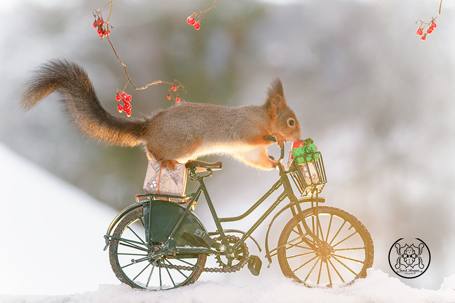 red squirrel standing on a bicycle with christmas gifts