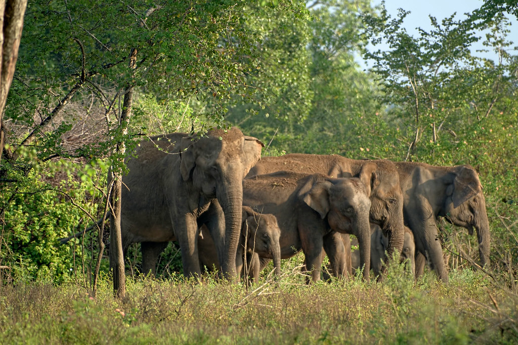 Herd of Sri Lankan Elephants