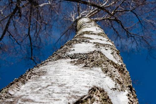 Birke - Birch tree 2728