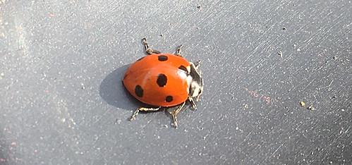 Ladybird IMG_0503