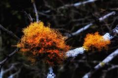 Crustose Lichen,  (Caloplaca saxicola), growing on a dried branch.