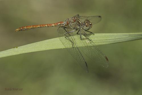 Sympetrum sinaiticum. Adult male