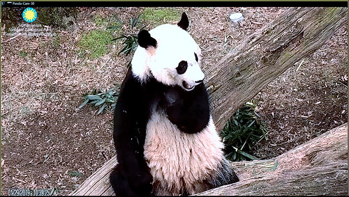 Bei Bei (What's that Larry? Yup I already seen some visitors. And you checked out the monitoring station and the cams are up and running? Finally–it's gonna be a great day for my fans!) 2019-01-29 at 10.39.25 AM