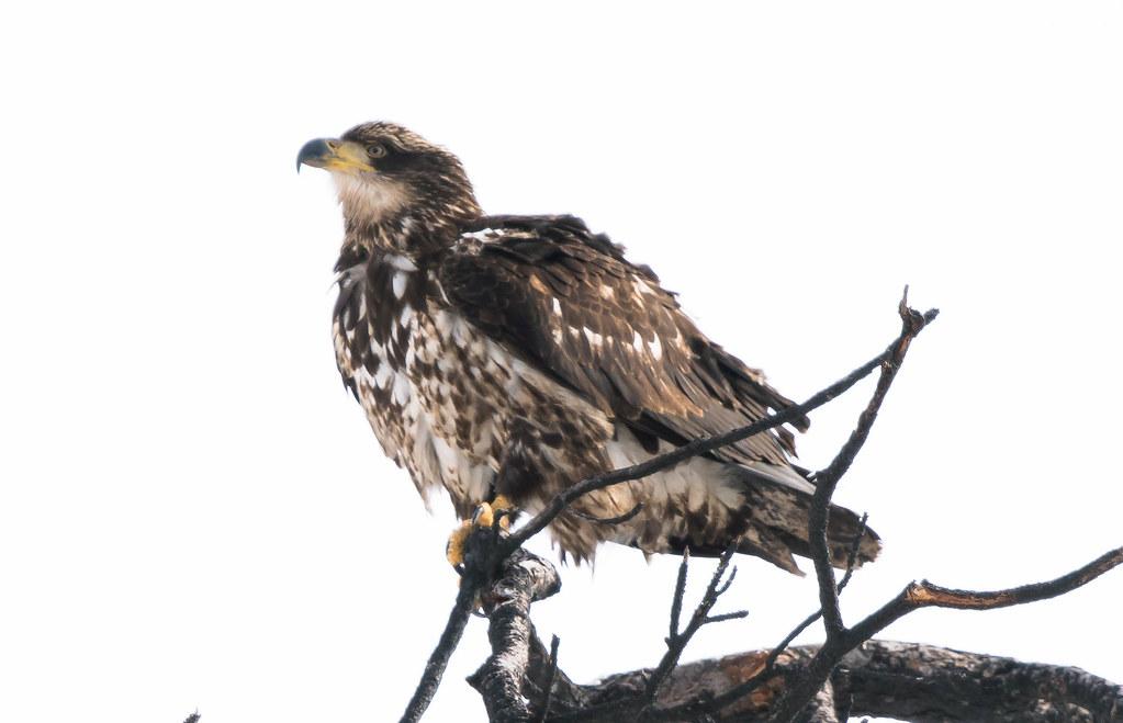 Yakima Eagle (1 of 1)
