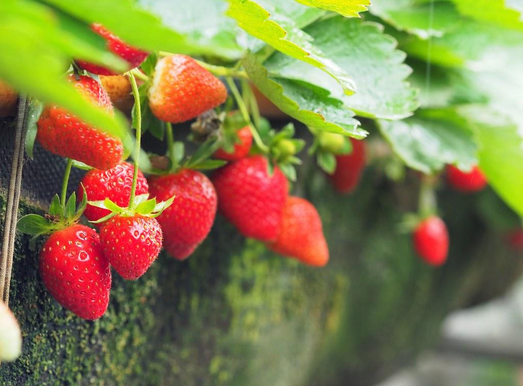善化大安草莓 (5)