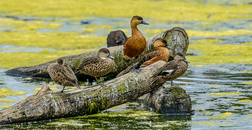 One Legged Ducks on a Log