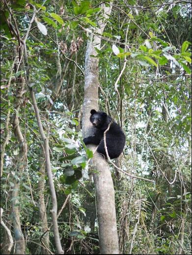 移至森林野訓場的小黑熊,正在練習上樹。林務局提供,黃美秀攝