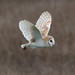 Barn Owl Parkgate 230319a