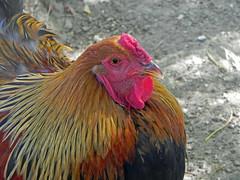 Portrait de poule Brahma - Photo of Bellegarde