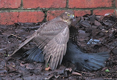Sparrow Hawk & Prey 20-01-2019