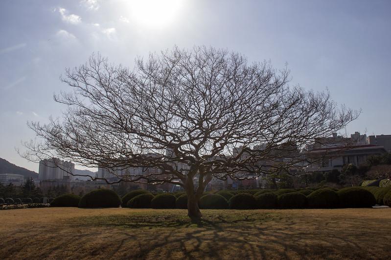 Одинокое дерево на мемориальном кладбище ООН
