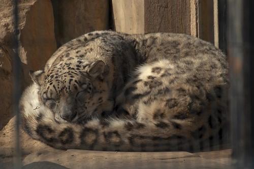 眠るユキヒョウ