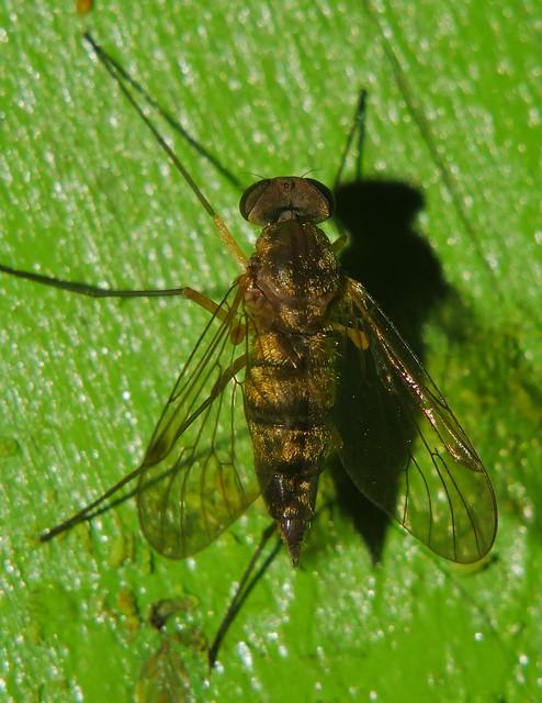 Whitsundays Fine fur Hairy lip fly Fly Day Friday P1450793
