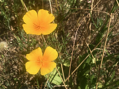 2018.06.23 - California poppies - Photo of Saint-Féliu-d'Avall