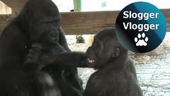 The Twycross Gorilla Brothers