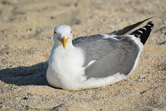 Seated Seagull