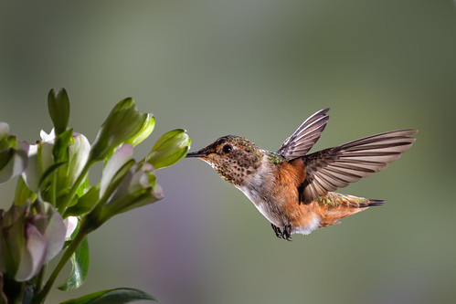 Just a Nice Hummingbird