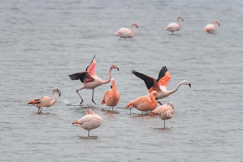 Chilean and European flamingo - Phoenicopterus Chilensis et Phoenicopterus roseus- Chileense en Europese flamingo