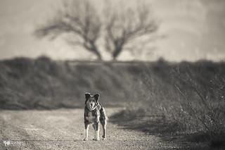 chien de berger