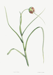Garlic flower in bloom
